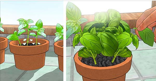 4 Schritte, um Basilikum auf Ihrem Balkon anzubauen und länger haltbar zu machen
