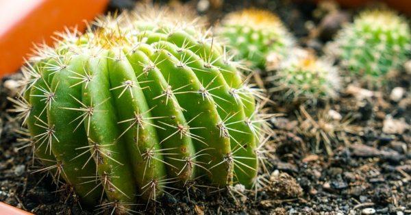 Wie man einen Kaktus richtig pflegt