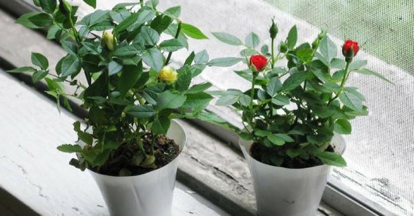 Wie man Rosen in Töpfen anbaut und welche Sorten man wählen sollte