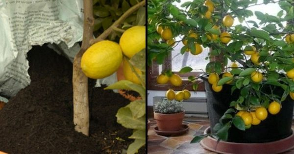 So züchten Sie in 7 einfachen Schritten einen Zitronenbaum in Ihrem Zuhause