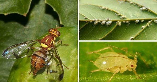 Pflanzenkrankheiten und Parasiten: Tipps zu ihrer Beseitigung