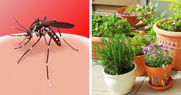 4 Insektenschutzpflanzen gegen Mücken, sehr einfach zu züchten