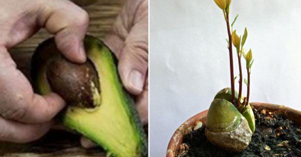 Wie man eine Avocado anbaut